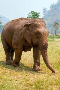 Elephant riding Koh Samui