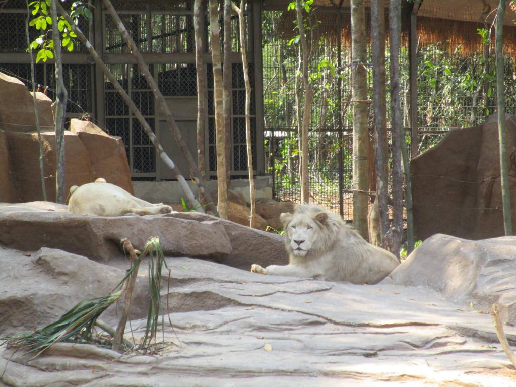 the amazing white lion at the vinpearl zoo