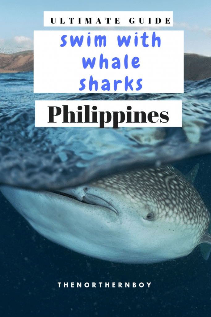 whale sharks, oslob whale sharks, whale sharks oslob, swimming with whale sharks, swimming with whale sharks cebu, whale sharks philippines, whale sharks cebu, whale sharks in oslob