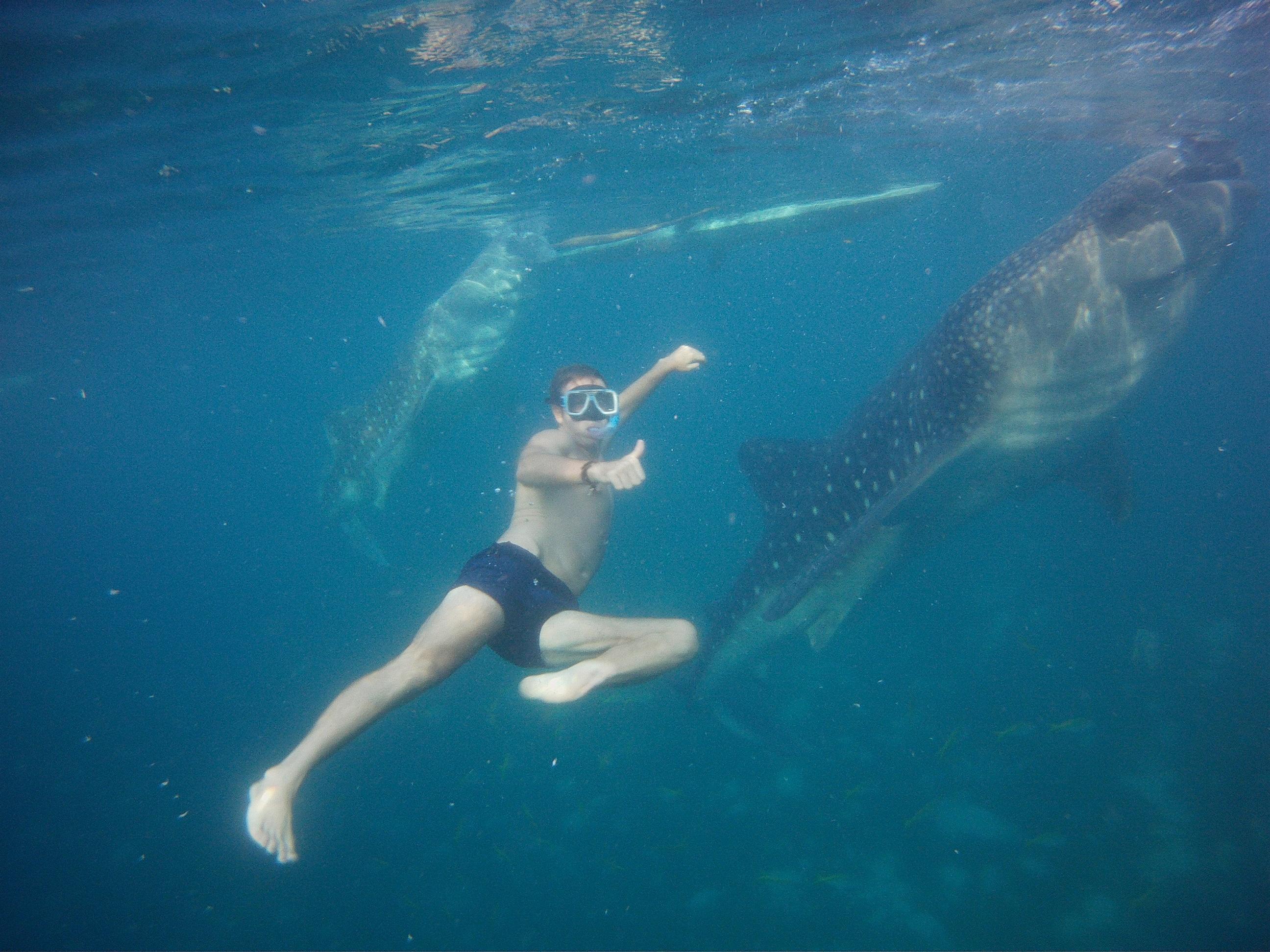 whale sharks, oslob whale sharks, whale sharks oslob, swimming with whale sharks, swimming with whale sharks cebu, whale sharks philippines, whale sharks cebu, whale sharks in oslob, best place to swim with whale sharks in the philippines