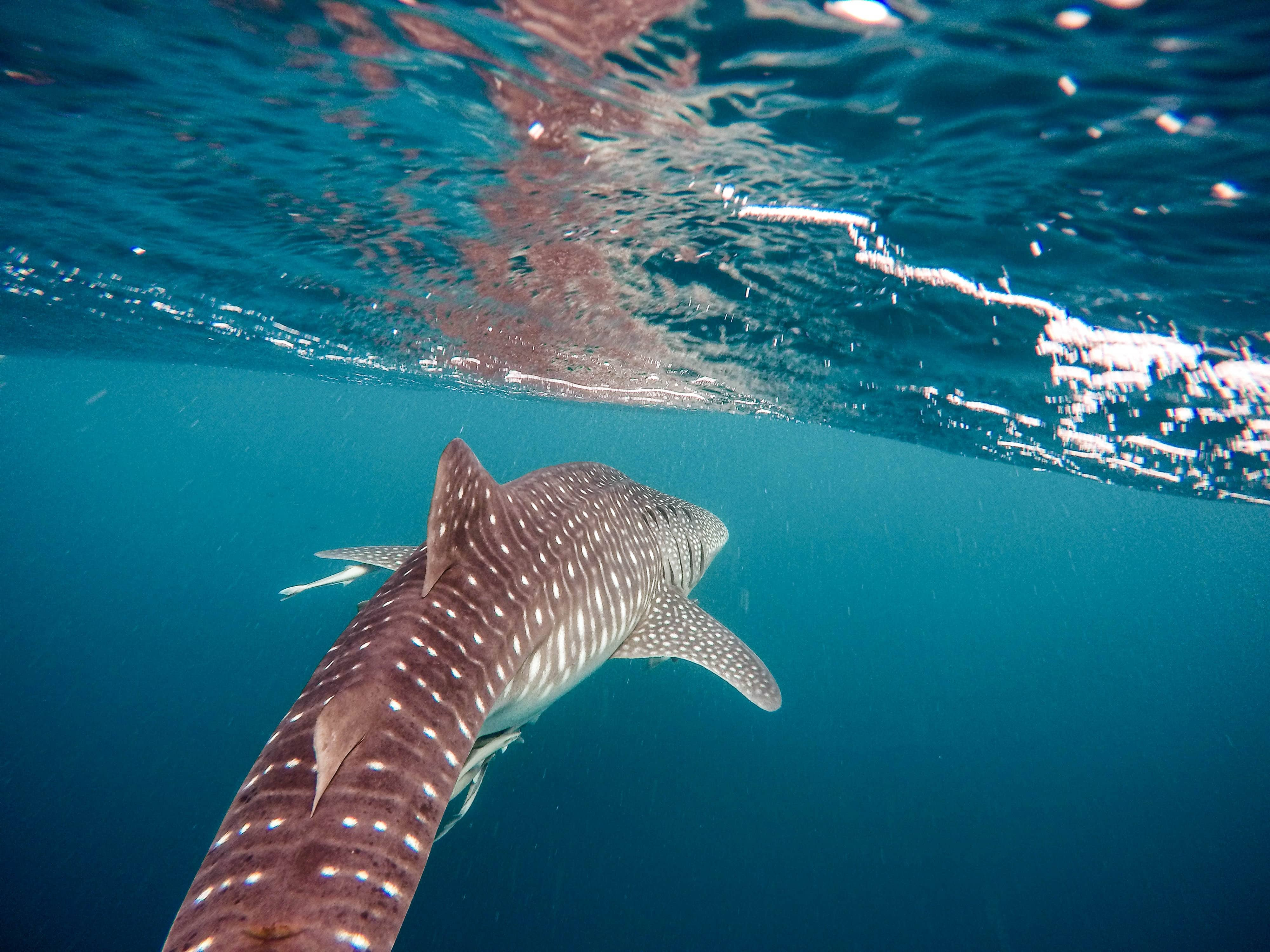 whale shark package oslob, whale shark watching schedule oslob ,whale shark watching rates, best place to swim with whale sharks in philippines, oslob whale shark price, oslob whale shark reservation