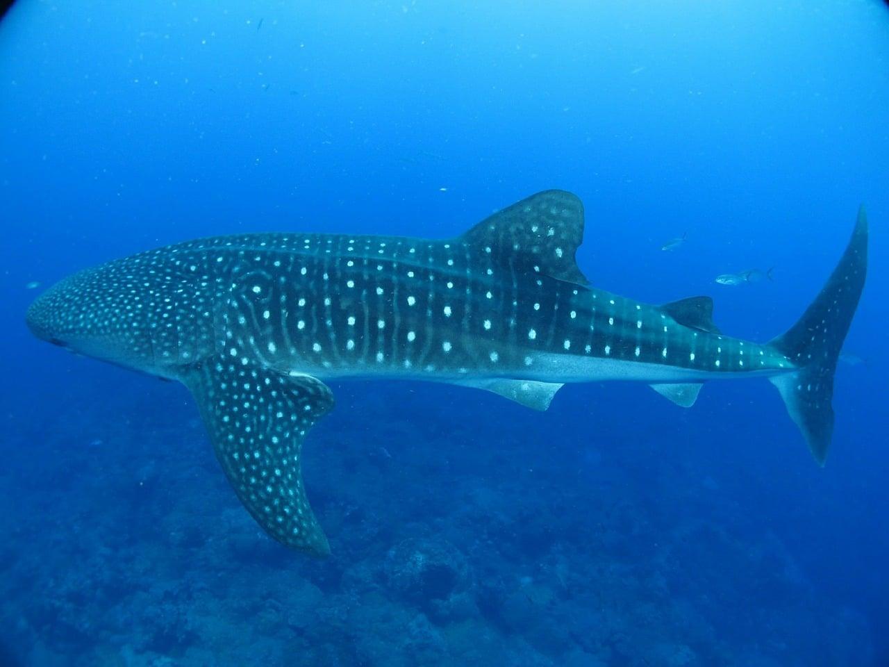 oslob whale sharks history