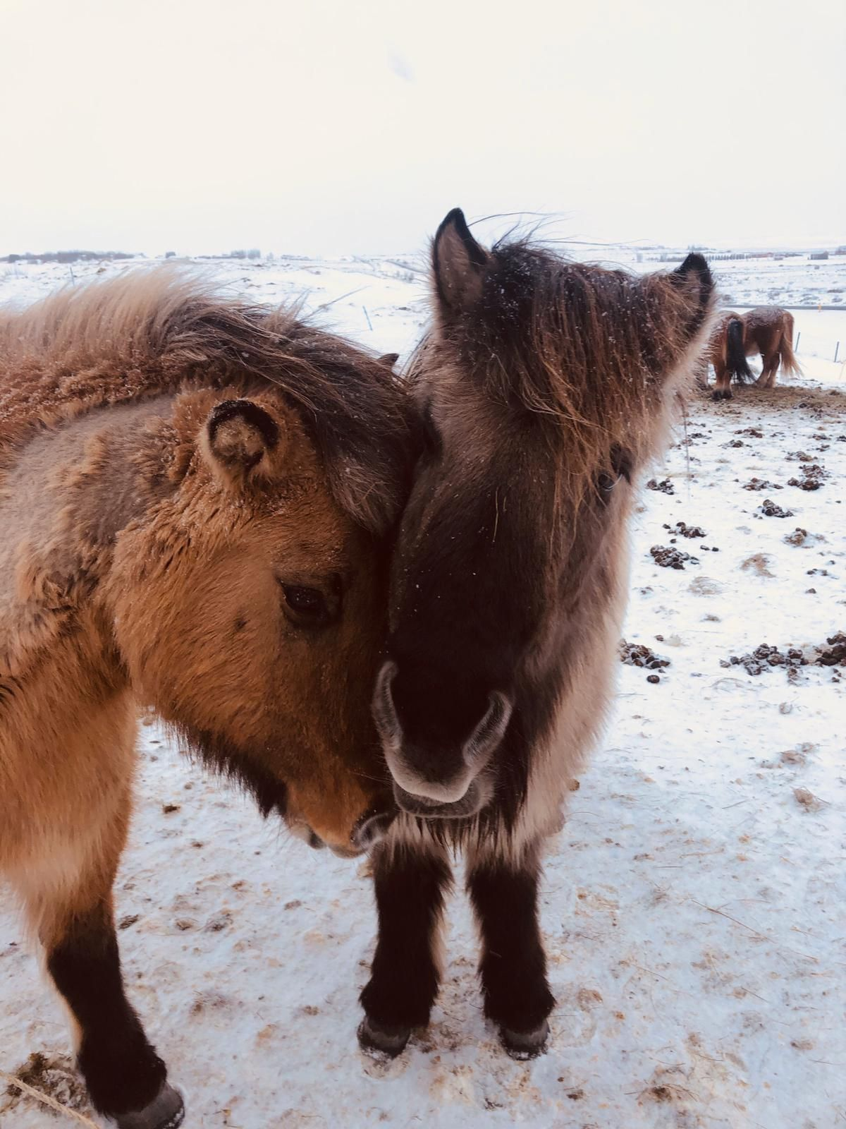 The beautiful icelandic horses