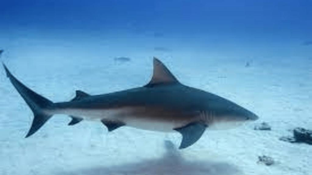swimming with Bull shark Koh Tao