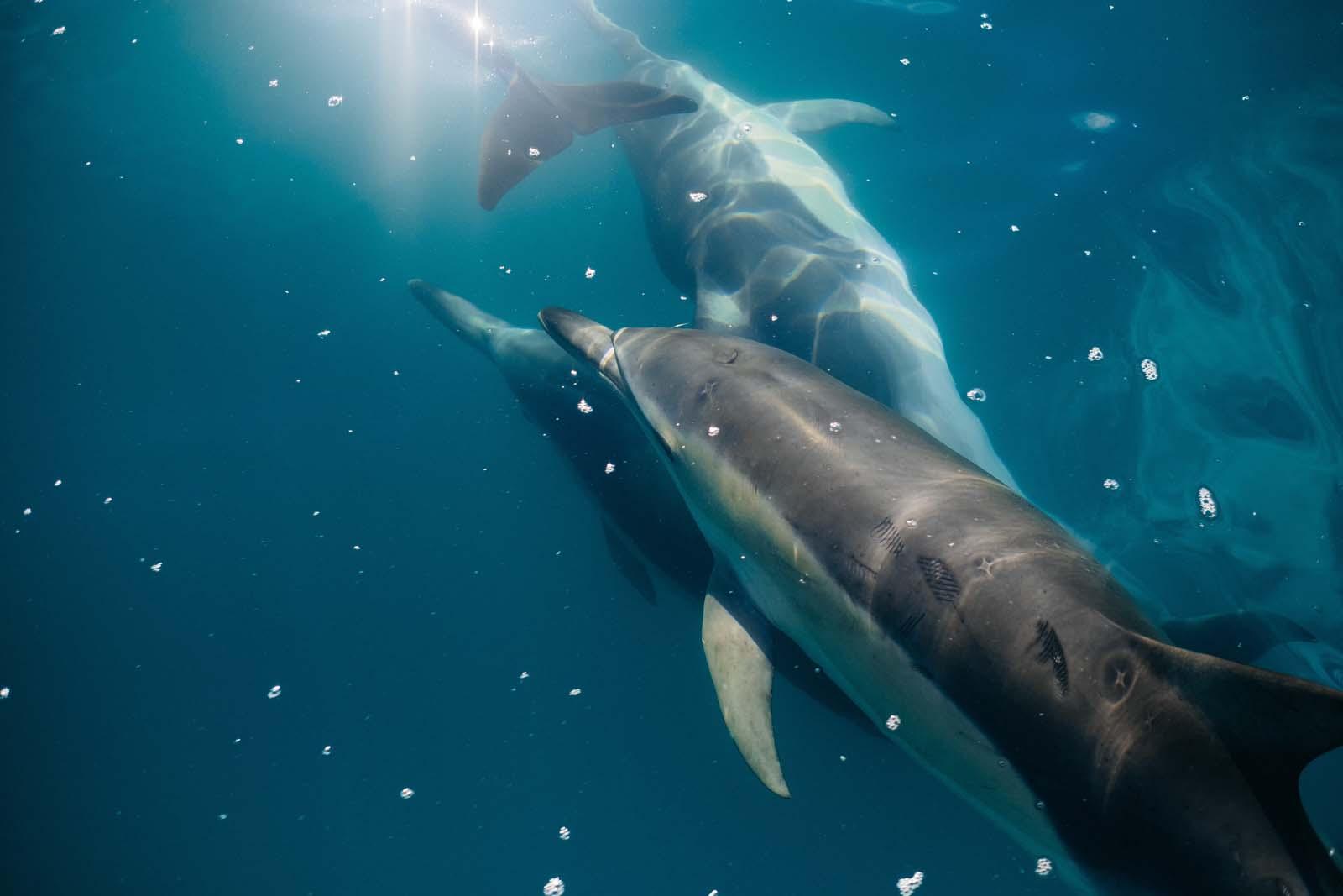 dolphin encounter kaikoura, kaikoura dolphin swim, green dolphin kaikoura, dolphin swim kaikoura, kaikoura dolphin, dolphin swimming kaikoura, whale watch kaikoura